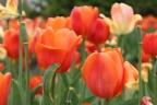 46. Ottawa tulip festival