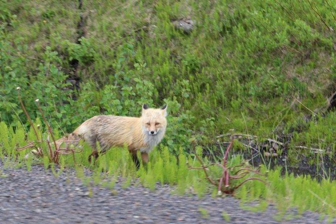 fox on Stewart - Cassiar Highway