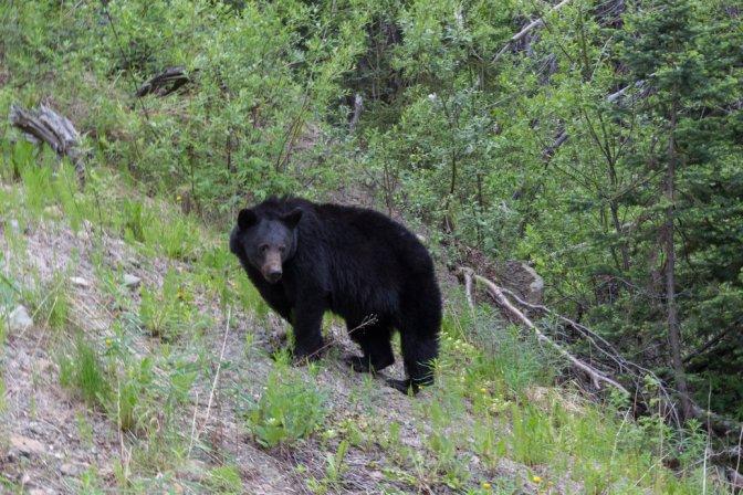 bear on Stewart - Cassiar Highway